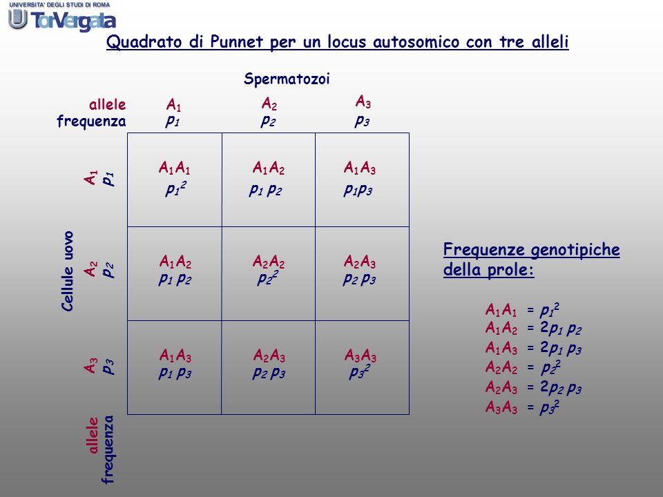 allele Spermatozoi Cellule uovo A1A1 A1A1 A1A1A1A1 Quadrato di Punnet per un locus autosomico con tre alleli Frequenze genotipiche della prole: A 1 A