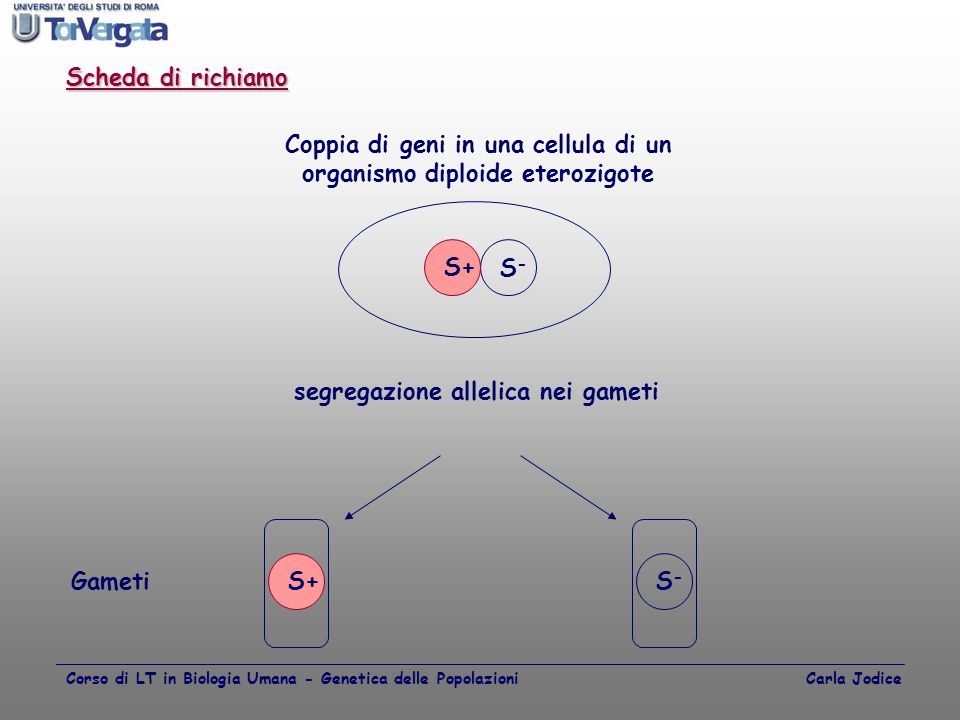 S+ S-S- Coppia di geni in una cellula di un organismo diploide eterozigote S+S-S- Gameti segregazione allelica nei gameti Scheda di richiamo Corso di