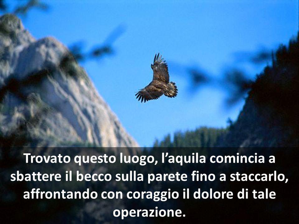 Volerà allora in cima ad una montagna, si ritirerà su un nido inaccessibile, addossato ad una parete rocciosa, un luogo da cui farà ritorno con un vol