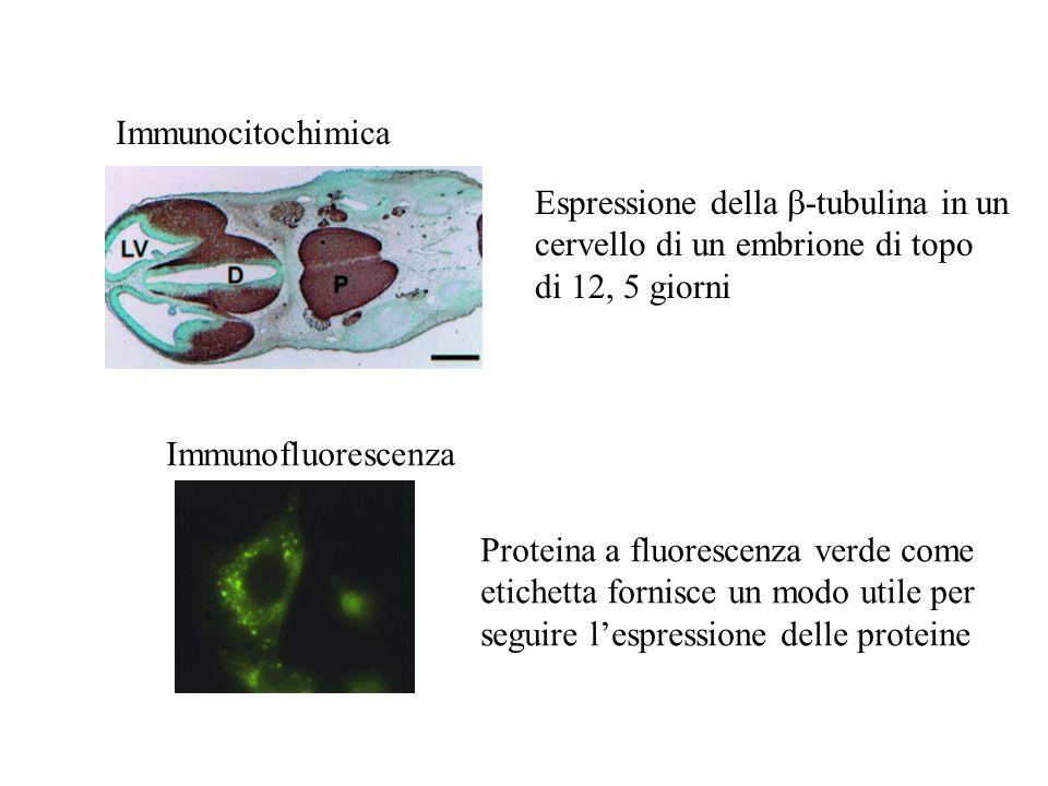 Immunocitochimica Espressione della  -tubulina in un cervello di un embrione di topo di 12, 5 giorni Immunofluorescenza Proteina a fluorescenza verde come etichetta fornisce un modo utile per seguire l'espressione delle proteine