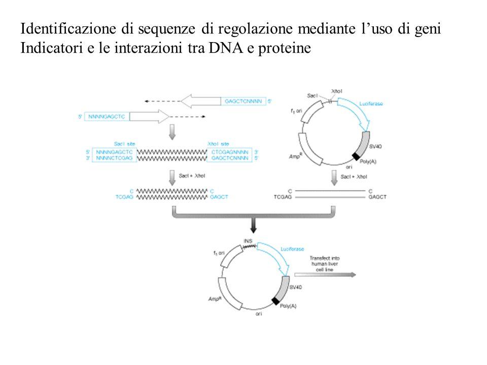 Identificazione di sequenze di regolazione mediante l'uso di geni Indicatori e le interazioni tra DNA e proteine