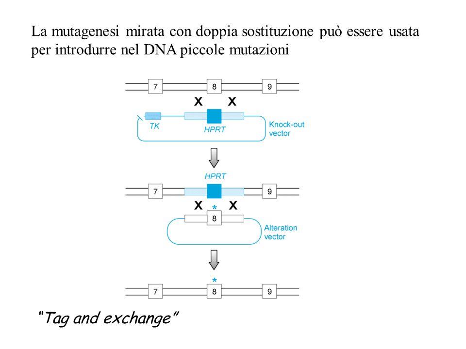 """La mutagenesi mirata con doppia sostituzione può essere usata per introdurre nel DNA piccole mutazioni """"Tag and exchange"""""""