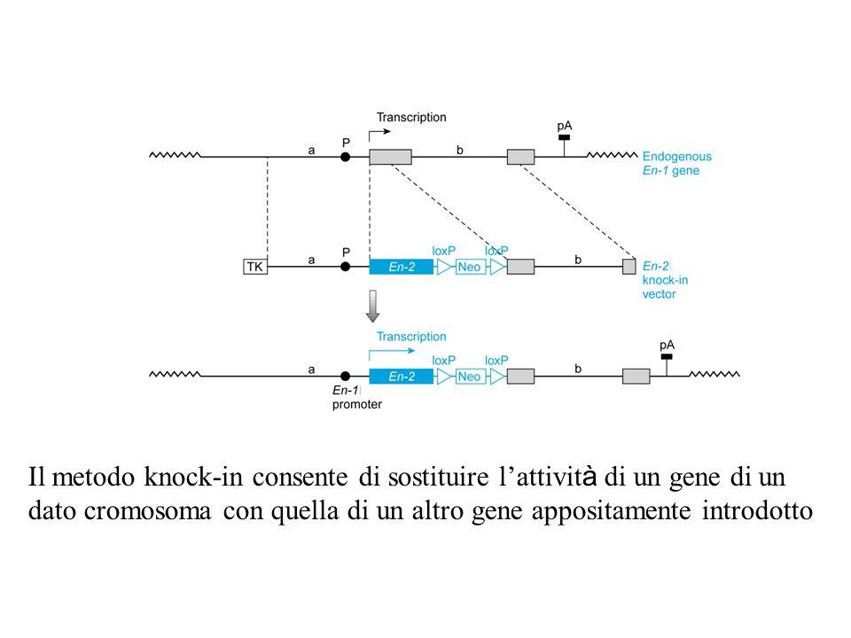 Il metodo knock-in consente di sostituire l'attivit à di un gene di un dato cromosoma con quella di un altro gene appositamente introdotto