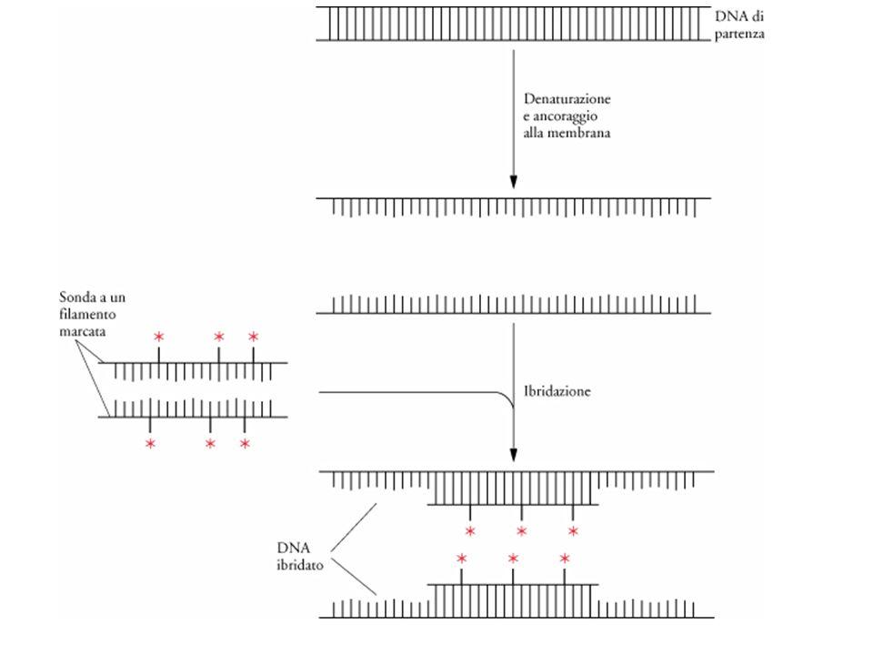 Immunoblotting (Western blotting)