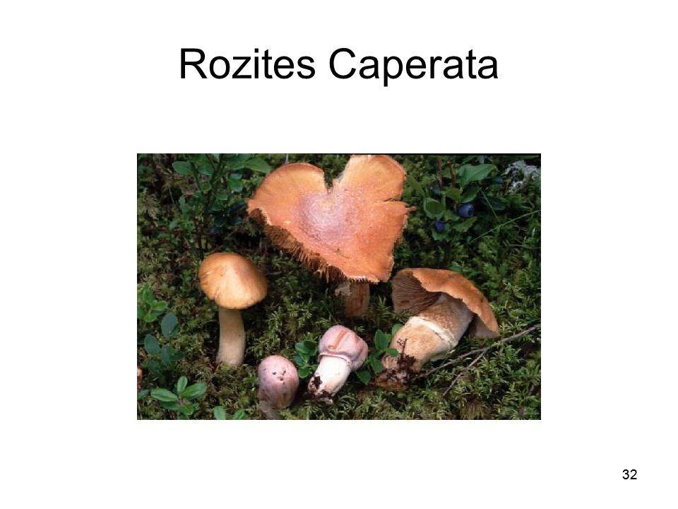 32 Rozites Caperata 32