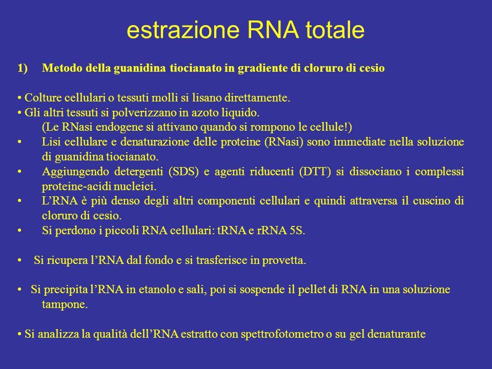 estrazione RNA totale 1)Metodo della guanidina tiocianato in gradiente di cloruro di cesio Colture cellulari o tessuti molli si lisano direttamente. G