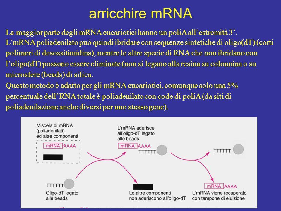 arricchire mRNA La maggior parte degli mRNA eucariotici hanno un poliA all'estremità 3'. L'mRNA poliadenilato può quindi ibridare con sequenze sinteti