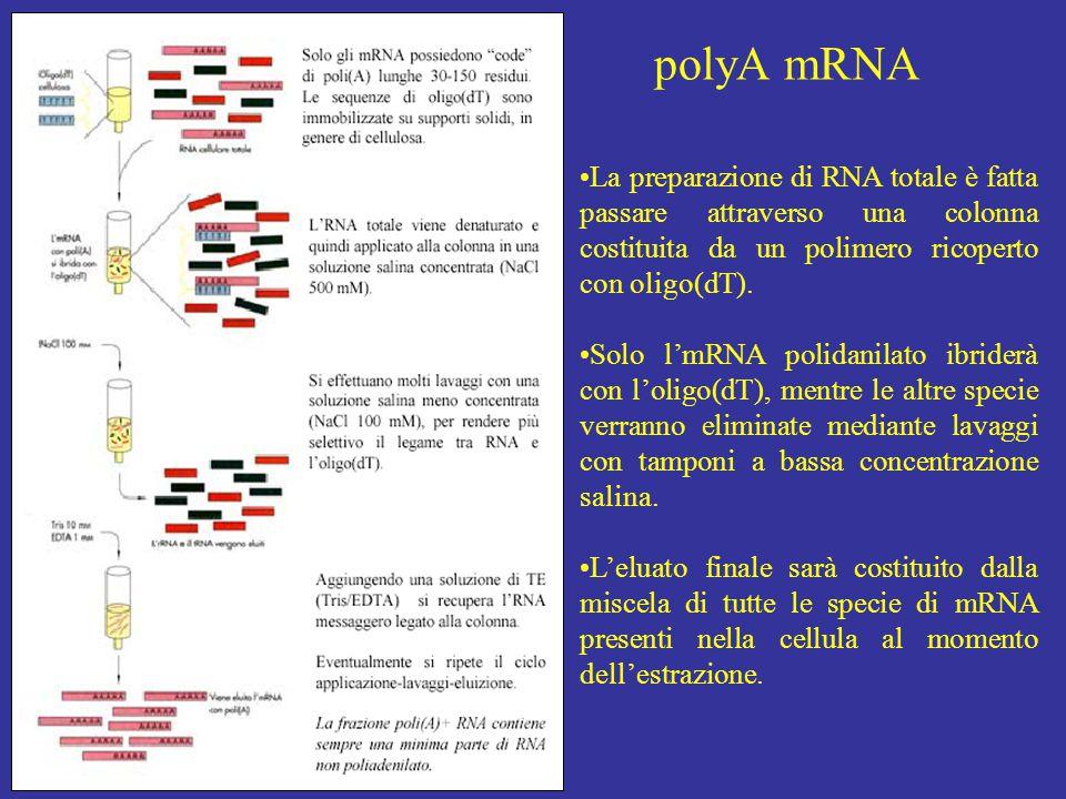 La preparazione di RNA totale è fatta passare attraverso una colonna costituita da un polimero ricoperto con oligo(dT). Solo l'mRNA polidanilato ibrid