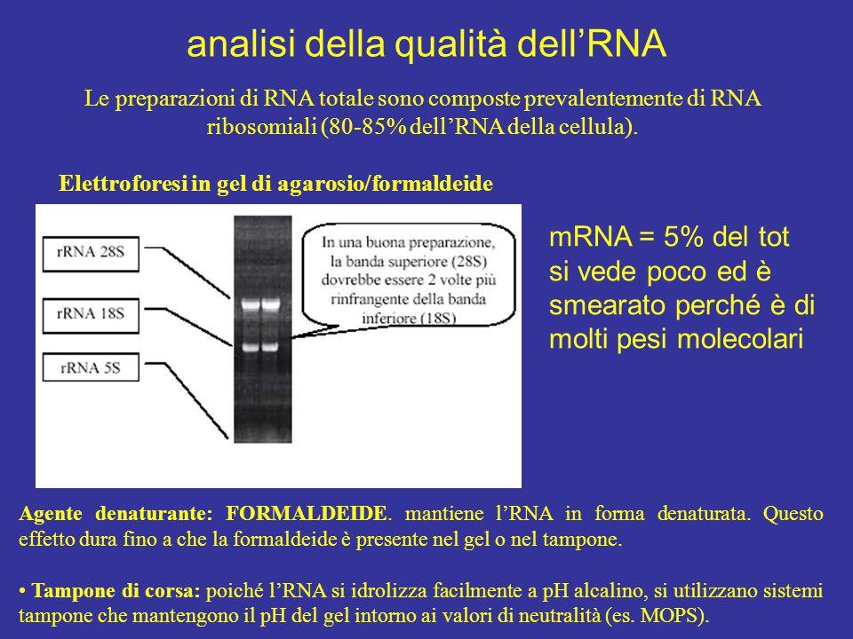 Le preparazioni di RNA totale sono composte prevalentemente di RNA ribosomiali (80-85% dell'RNA della cellula). Elettroforesi in gel di agarosio/forma