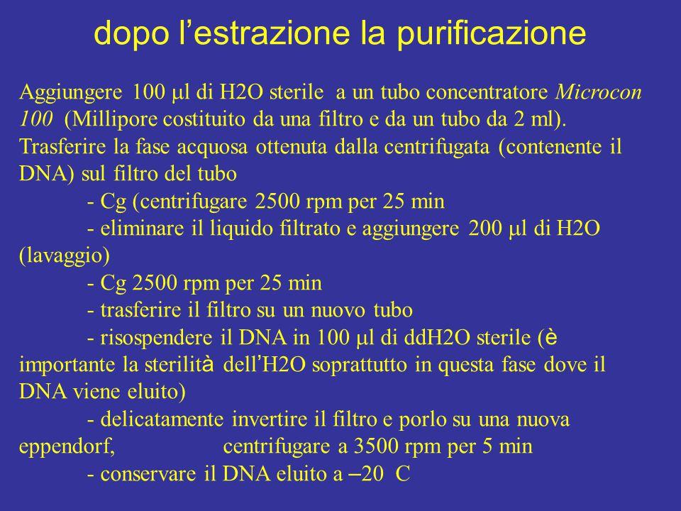 dopo l'estrazione la purificazione Aggiungere 100  l di H2O sterile a un tubo concentratore Microcon 100 (Millipore costituito da una filtro e da un