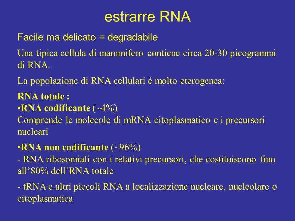 estrarre RNA Facile ma delicato = degradabile Una tipica cellula di mammifero contiene circa 20-30 picogrammi di RNA. La popolazione di RNA cellulari