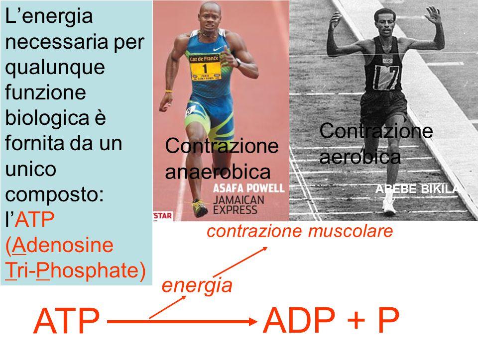 ATP ADP + P energia contrazione muscolare ABEBE BIKILA L'energia necessaria per qualunque funzione biologica è fornita da un unico composto: l'ATP (Ad