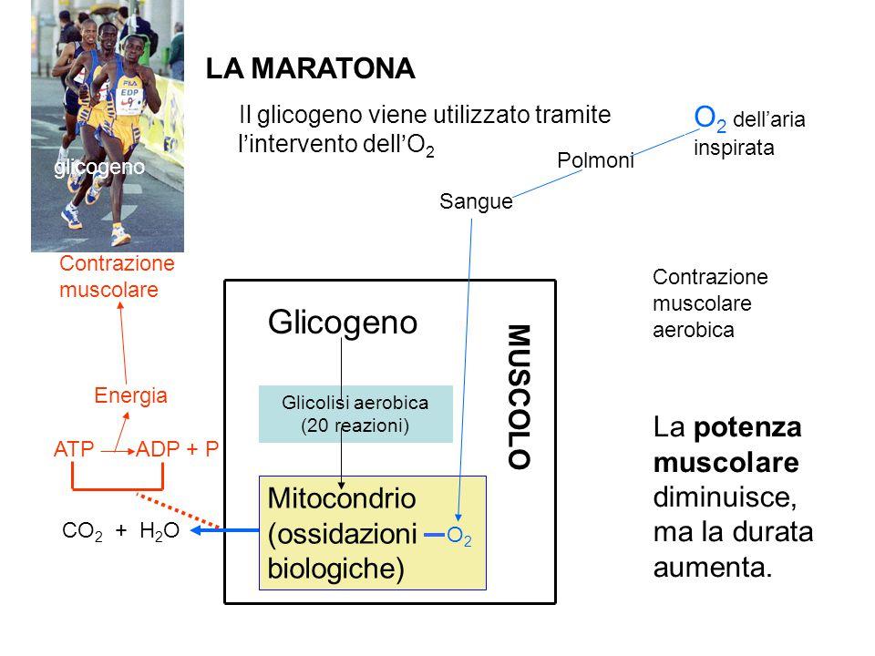 LA MARATONA Il glicogeno viene utilizzato tramite l'intervento dell'O 2 glicogeno La potenza muscolare diminuisce, ma la durata aumenta. MUSCOLO CO 2
