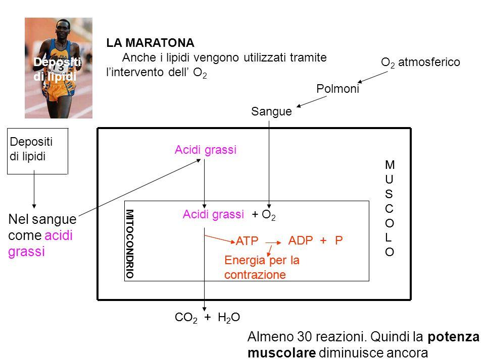 Depositi di lipidi Nel sangue come acidi grassi Depositi di lipidi Acidi grassi CO 2 + H 2 O MITOCONDRIO Energia per la contrazione ATP ADP Acidi gras