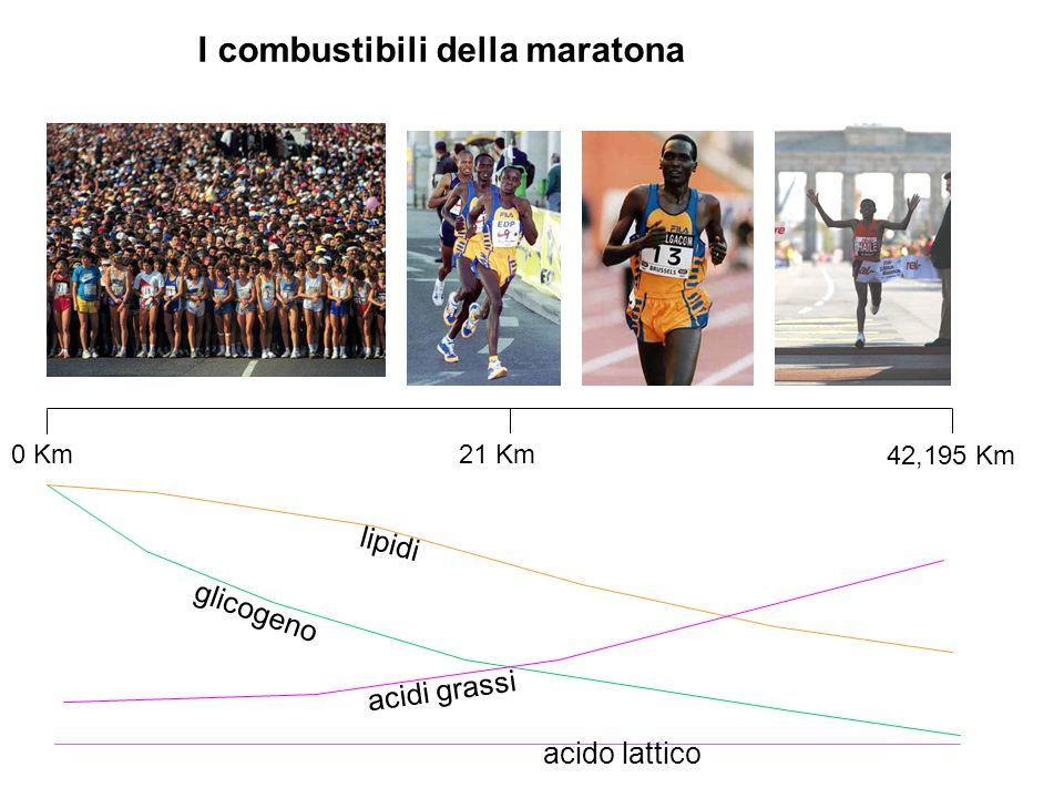 glicogeno lipidi acidi grassi acido lattico I combustibili della maratona 0 Km 42,195 Km 21 Km