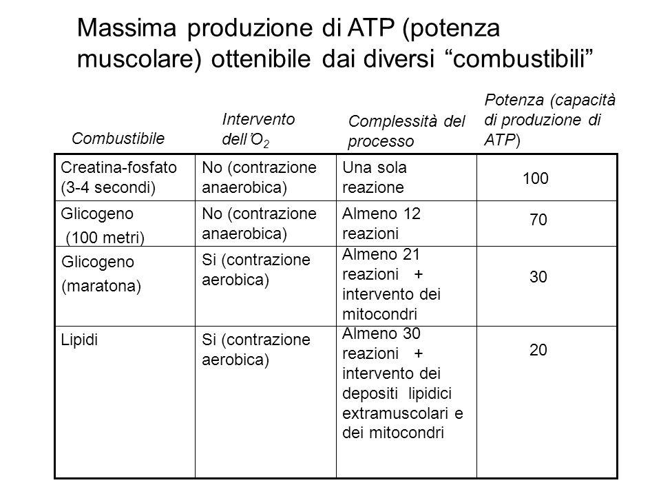 Una sola reazione No (contrazione anaerobica) Creatina-fosfato (3-4 secondi) Almeno 30 reazioni + intervento dei depositi lipidici extramuscolari e de