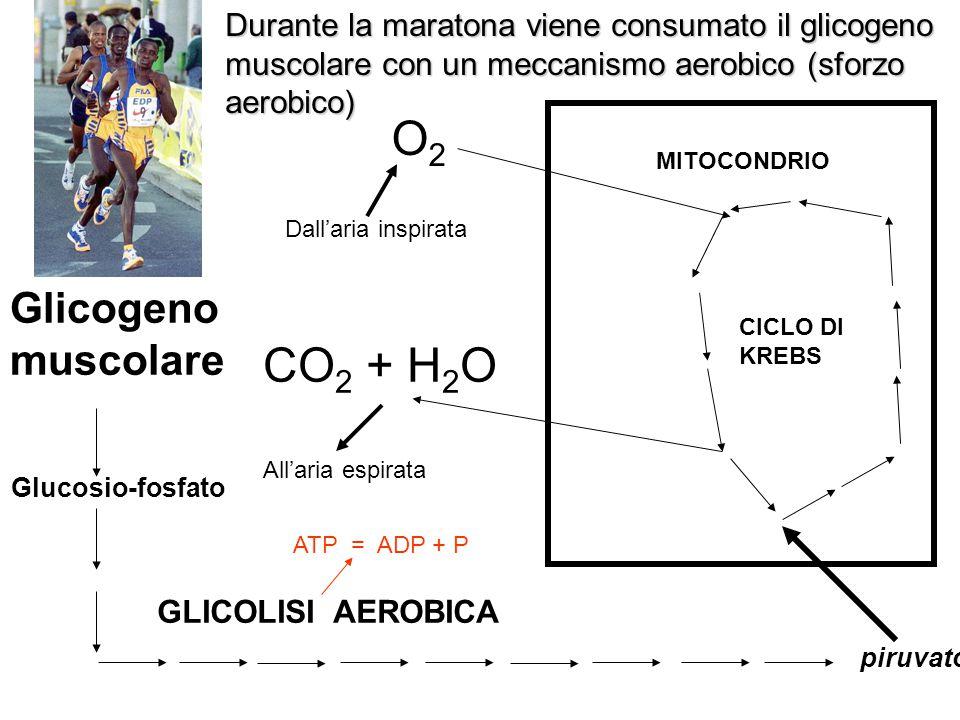 Durante la maratona viene consumato il glicogeno muscolare con un meccanismo aerobico (sforzo aerobico) Dall'aria inspirataAll'aria espirata GLICOLISI