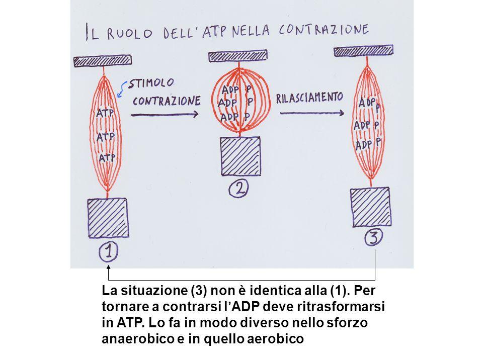 La situazione (3) non è identica alla (1). Per tornare a contrarsi l'ADP deve ritrasformarsi in ATP. Lo fa in modo diverso nello sforzo anaerobico e i