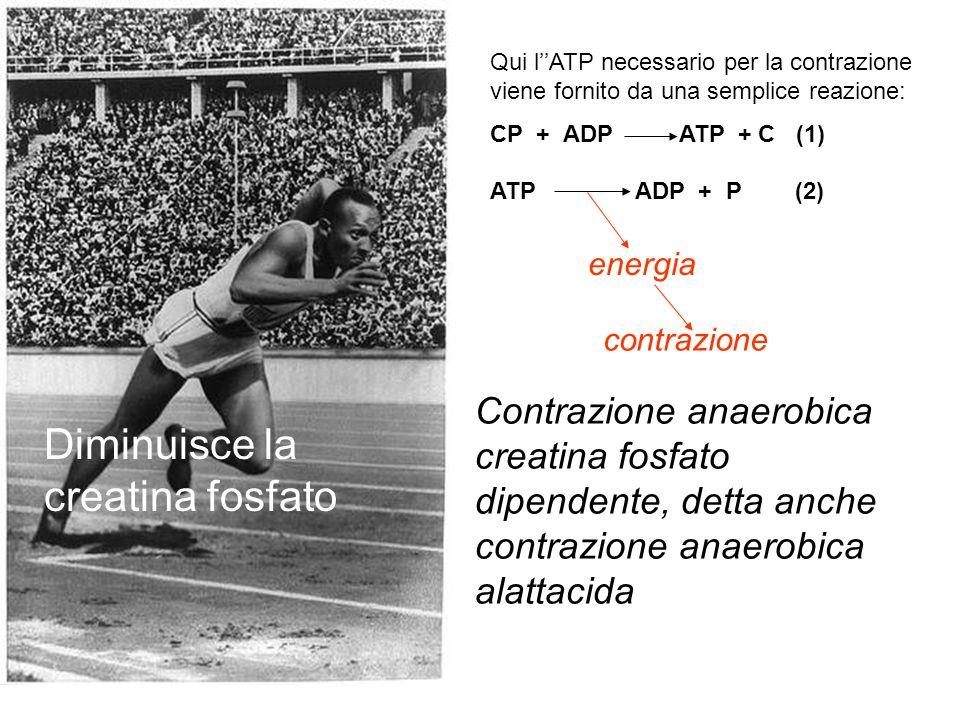 Diminuisce la creatina fosfato Qui l''ATP necessario per la contrazione viene fornito da una semplice reazione: CP + ADP ATP + C (1) Contrazione anaer