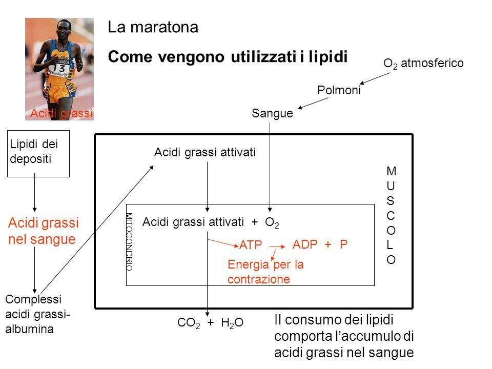 La maratona Come vengono utilizzati i lipidi Acidi grassi nel sangue Lipidi dei depositi Complessi acidi grassi- albumina CO 2 + H 2 O Energia per la