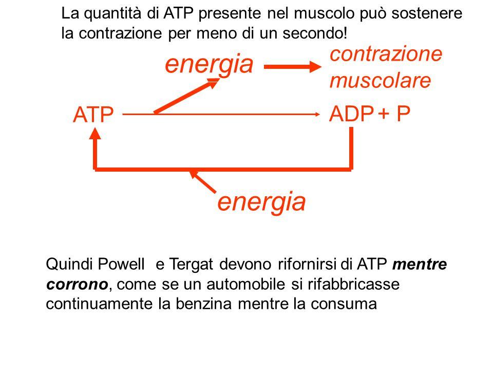 energia contrazione muscolare ATP ADP + P energia La quantità di ATP presente nel muscolo può sostenere la contrazione per meno di un secondo! Quindi