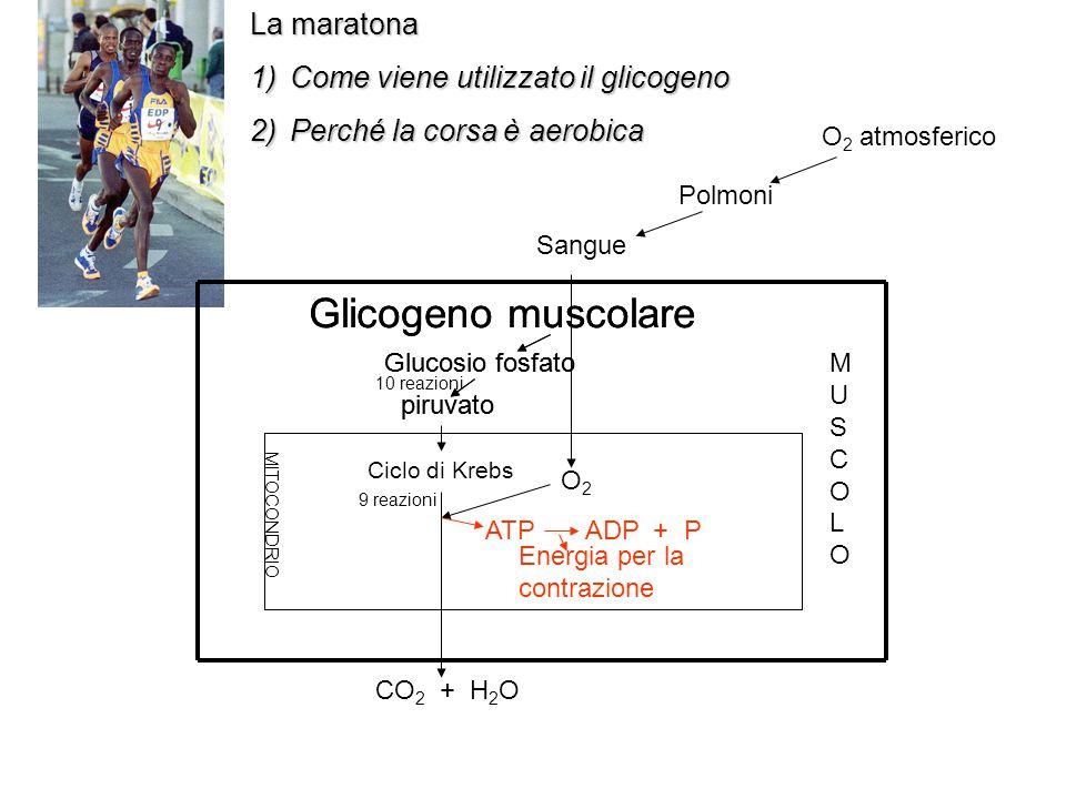 O 2 atmosferico Polmoni Sangue La maratona 1)Come viene utilizzato il glicogeno 2)Perché la corsa è aerobica MUSCOLOMUSCOLO MITOCONDRIO Glicogeno musc