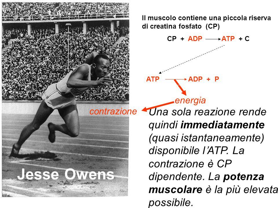 Dopo 4 s di corsa la riserva di CP si esaurisce Carl Lewis Entra in gioco un'altra fonte di ATP: il glicogeno 12 reazioni G L I C O L I S I anaerobica Glicogeno Lattato ATP ADP + P energia contrazione muscolare La potenza muscolare diminuisce, perché entrano in gioco 12 reazioni.