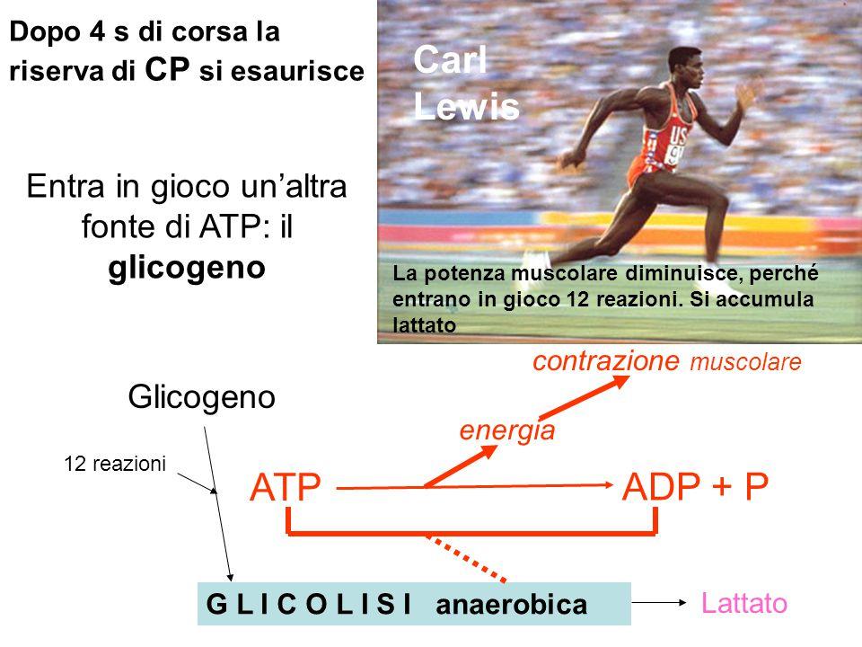 Dopo 4 s di corsa la riserva di CP si esaurisce Carl Lewis Entra in gioco un'altra fonte di ATP: il glicogeno 12 reazioni G L I C O L I S I anaerobica