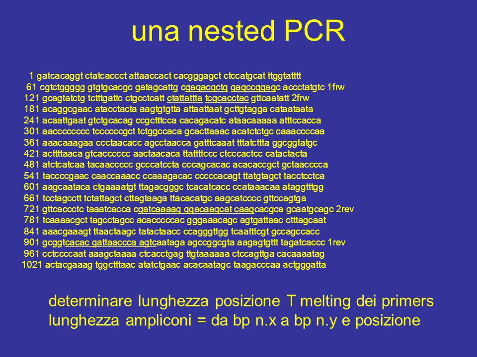una nested PCR 1 gatcacaggt ctatcaccct attaaccact cacgggagct ctccatgcat ttggtatttt 61 cgtctggggg gtgtgcacgc gatagcattg cgagacgctg gagccggagc accctatgtc 1frw 121 gcagtatctg tctttgattc ctgcctcatt ctattattta tcgcacctac gttcaatatt 2frw 181 acaggcgaac atacctacta aagtgtgtta attaattaat gcttgtagga cataataata 241 acaattgaat gtctgcacag ccgctttcca cacagacatc ataacaaaaa atttccacca 301 aacccccccc tccccccgct tctggccaca gcacttaaac acatctctgc caaaccccaa 361 aaacaaagaa ccctaacacc agcctaacca gatttcaaat tttatcttta ggcggtatgc 421 acttttaaca gtcacccccc aactaacaca ttattttccc ctcccactcc catactacta 481 atctcatcaa tacaaccccc gcccatccta cccagcacac acacaccgct gctaacccca 541 taccccgaac caaccaaacc ccaaagacac cccccacagt ttatgtagct tacctcctca 601 aagcaataca ctgaaaatgt ttagacgggc tcacatcacc ccataaacaa ataggtttgg 661 tcctagcctt tctattagct cttagtaaga ttacacatgc aagcatcccc gttccagtga 721 gttcaccctc taaatcacca cgatcaaaag ggacaagcat caagcacgca gcaatgcagc 2rev 781 tcaaaacgct tagcctagcc acacccccac gggaaacagc agtgattaac ctttagcaat 841 aaacgaaagt ttaactaagc tatactaacc ccagggttgg tcaatttcgt gccagccacc 901 gcggtcacac gattaaccca agtcaataga agccggcgta aagagtgttt tagatcaccc 1rev 961 cctccccaat aaagctaaaa ctcacctgag ttgtaaaaaa ctccagttga cacaaaatag 1021 actacgaaag tggctttaac atatctgaac acacaatagc taagacccaa actgggatta determinare lunghezza posizione T melting dei primers lunghezza ampliconi = da bp n.x a bp n.y e posizione
