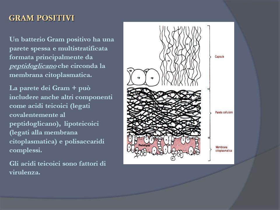GRAM POSITIVI Un batterio Gram positivo ha una parete spessa e multistratificata formata principalmente da peptidoglicano che circonda la membrana cit