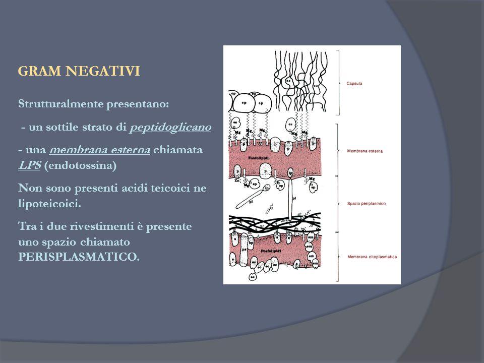 GRAM NEGATIVI Strutturalmente presentano: - un sottile strato di peptidoglicano - una membrana esterna chiamata LPS (endotossina) Non sono presenti ac