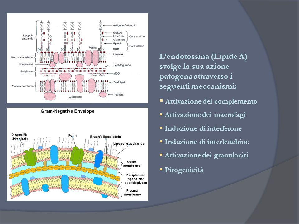 L'endotossina (Lipide A) svolge la sua azione patogena attraverso i seguenti meccanismi:  Attivazione del complemento  Attivazione dei macrofagi  I