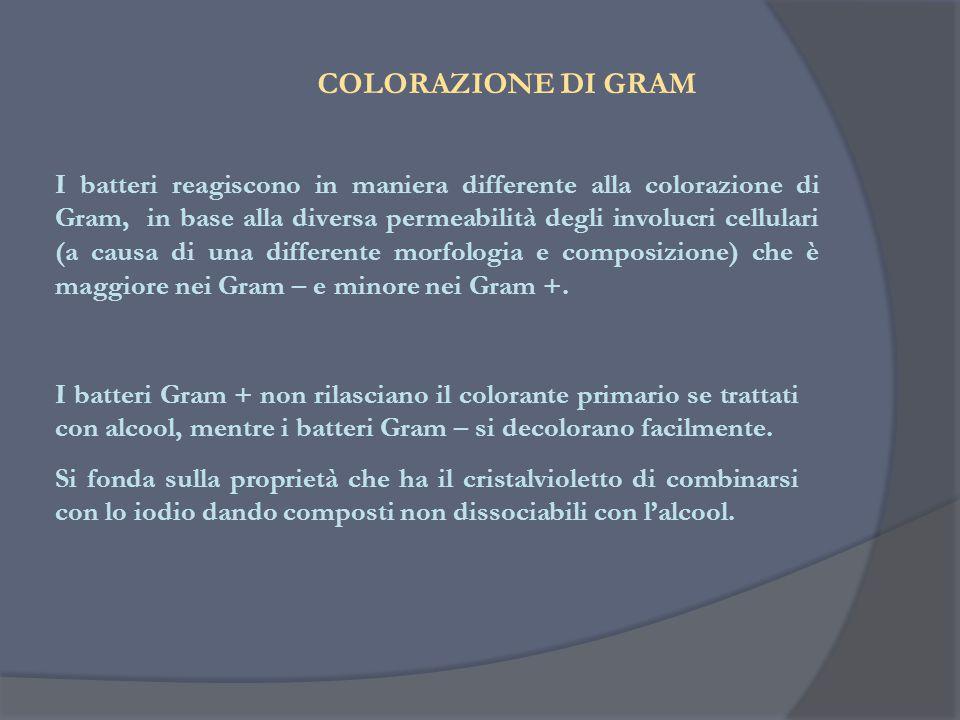 COLORAZIONE DI GRAM I batteri Gram + non rilasciano il colorante primario se trattati con alcool, mentre i batteri Gram – si decolorano facilmente. Si
