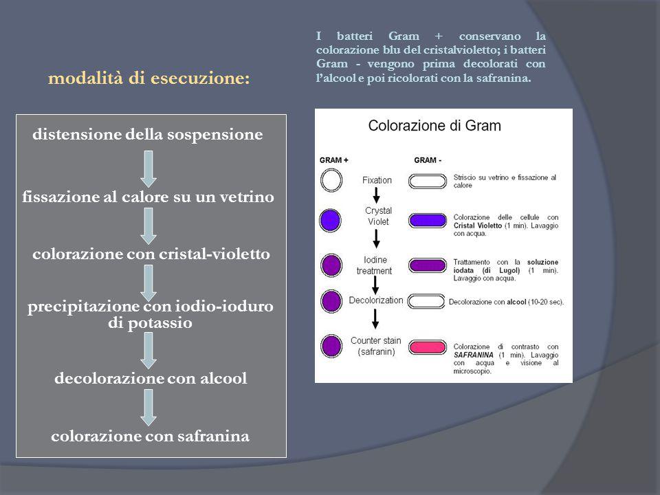 fissazione al calore su un vetrino colorazione con cristal-violetto precipitazione con iodio-ioduro di potassio decolorazione con alcool colorazione c