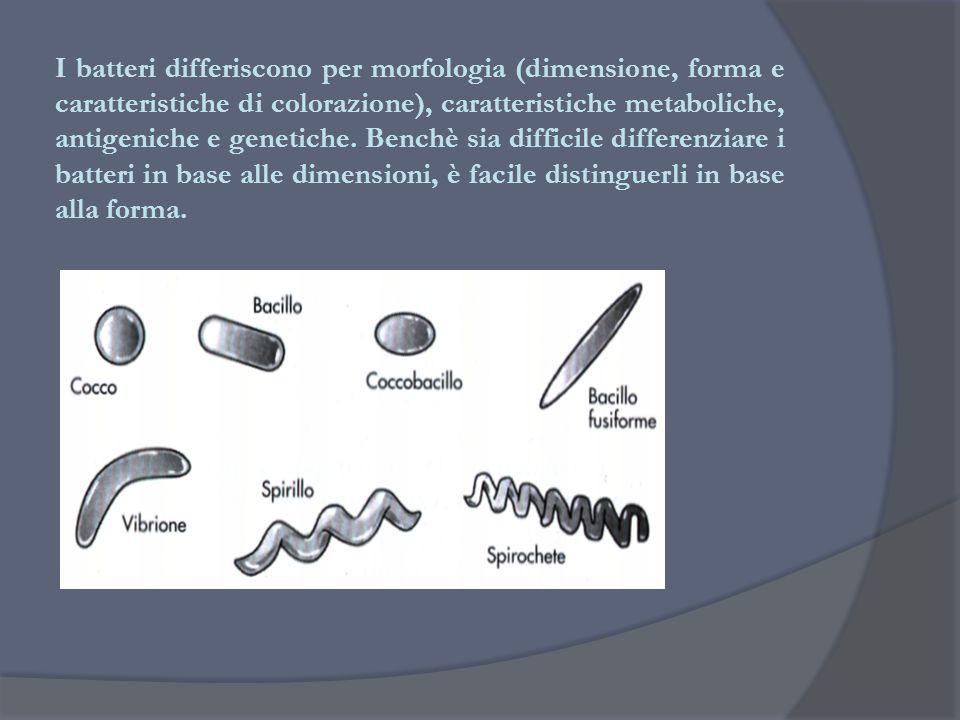 I batteri differiscono per morfologia (dimensione, forma e caratteristiche di colorazione), caratteristiche metaboliche, antigeniche e genetiche. Benc