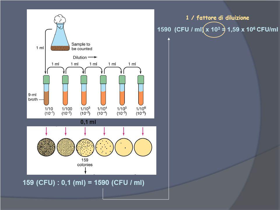 0,1 ml 159 (CFU) : 0,1 (ml) = 1590 (CFU / ml) 1590 (CFU / ml) x 10 3 = 1,59 x 10 6 CFU/ml 1 / fattore di diluizione