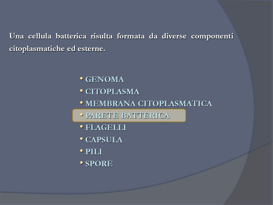 Una cellula batterica risulta formata da diverse componenti citoplasmatiche ed esterne. GENOMA GENOMA CITOPLASMA CITOPLASMA MEMBRANA CITOPLASMATICA ME
