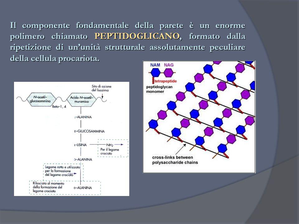 Il componente fondamentale della parete è un enorme polimero chiamato PEPTIDOGLICANO, formato dalla ripetizione di un'unità strutturale assolutamente