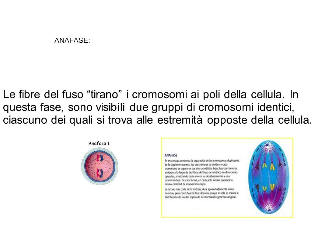 Le fibre del fuso tirano i cromosomi ai poli della cellula.