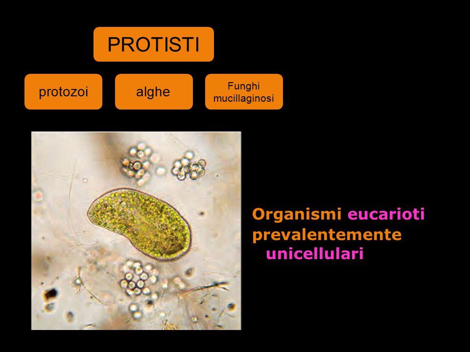 Organismi eucarioti prevalentemente unicellulari PROTISTI protozoialghe Funghi mucillaginosi