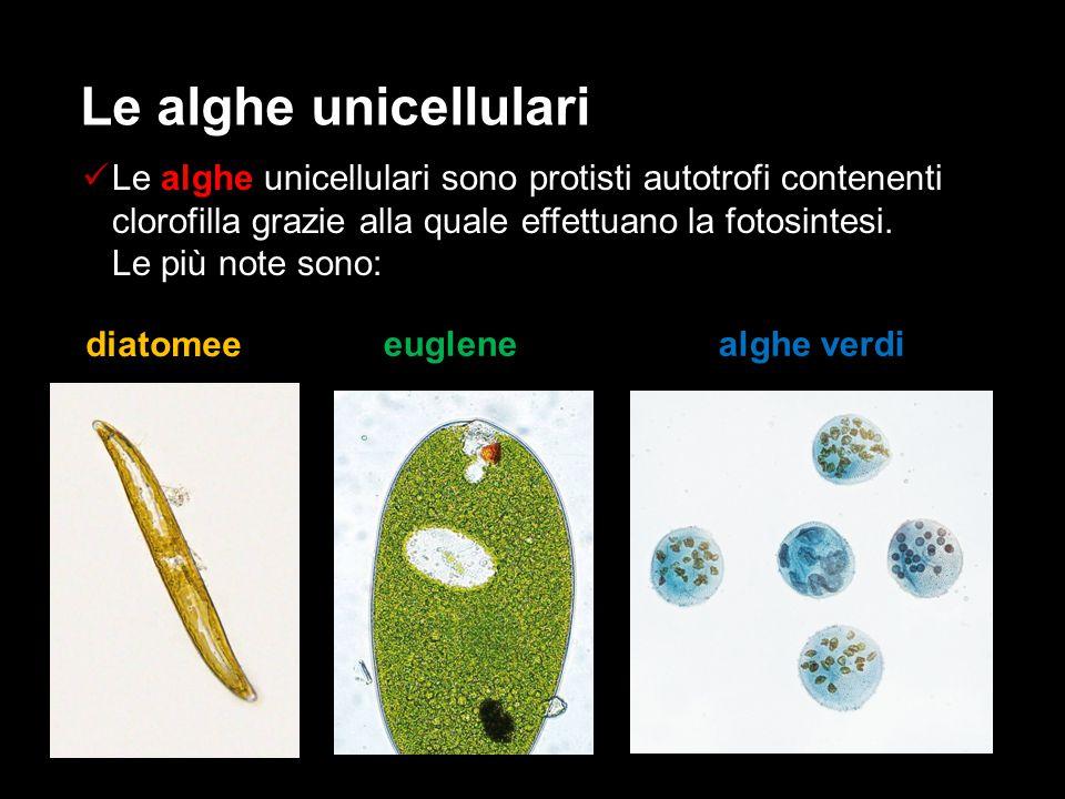 Le alghe unicellulari sono protisti autotrofi contenenti clorofilla grazie alla quale effettuano la fotosintesi. Le più note sono: Le alghe unicellula