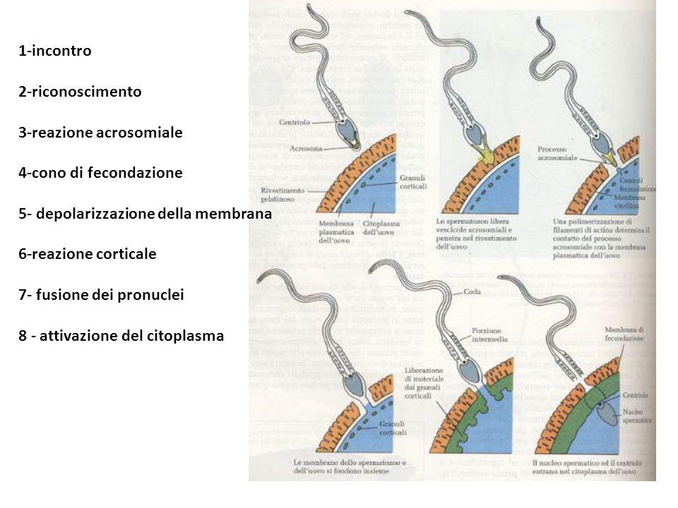 1-incontro 2-riconoscimento 3-reazione acrosomiale 4-cono di fecondazione 5- depolarizzazione della membrana 6-reazione corticale 7- fusione dei pronu