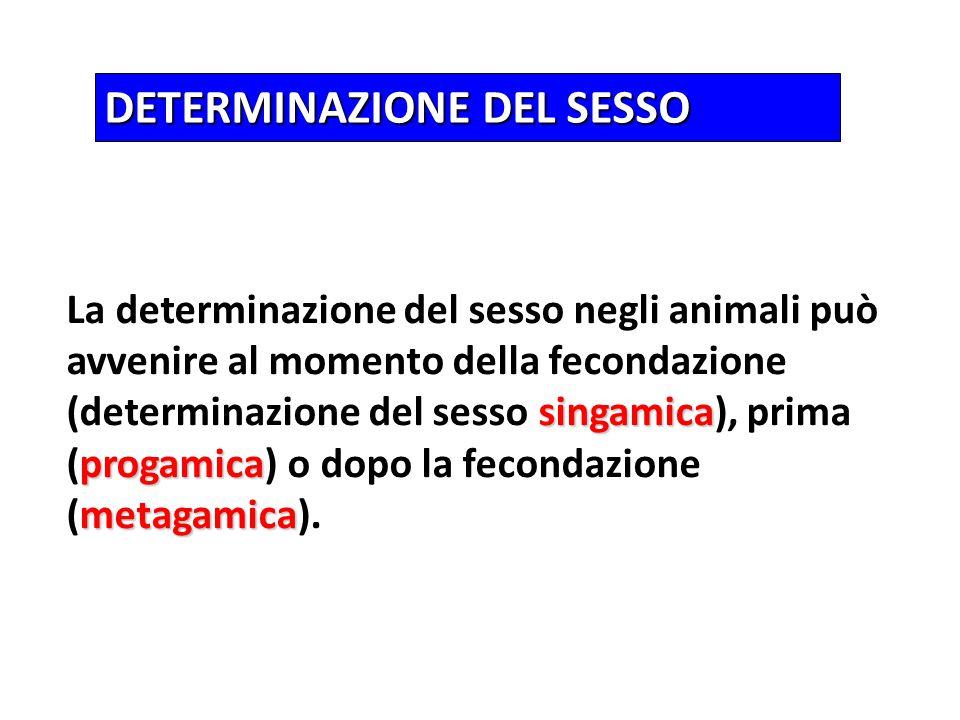 DETERMINAZIONE DEL SESSO singamica progamica metagamica La determinazione del sesso negli animali può avvenire al momento della fecondazione (determin