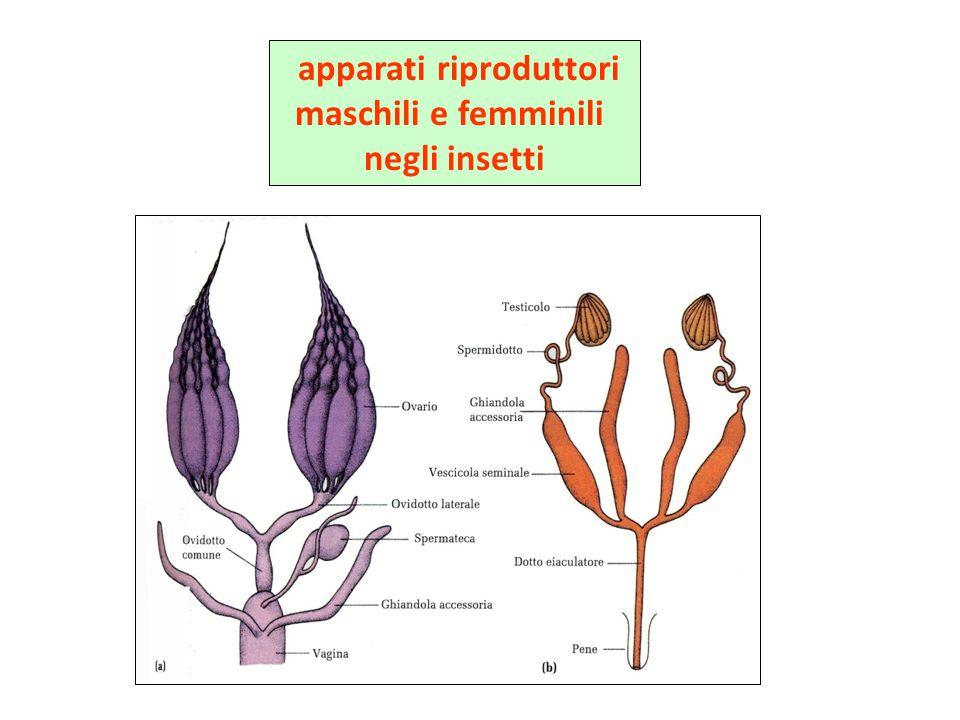 apparati riproduttori maschili e femminili negli insetti