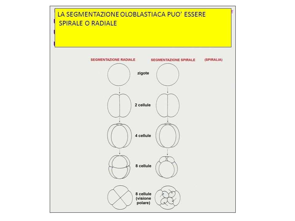 La segmentazione parziale si suddivide in discoidali e superficiale.
