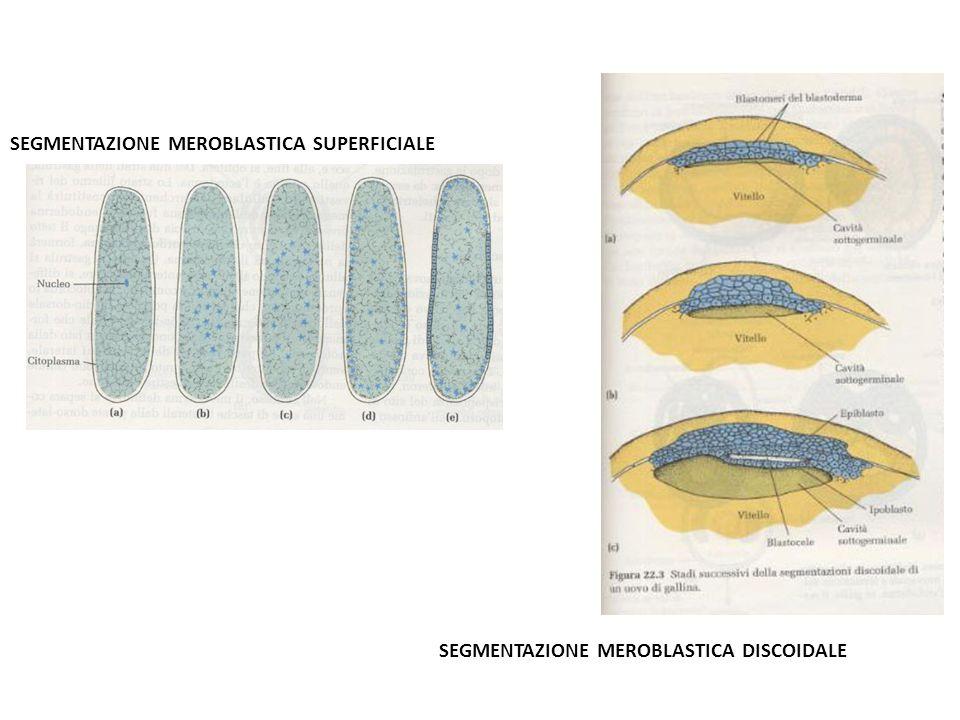 SEGMENTAZIONE MEROBLASTICA SUPERFICIALE SEGMENTAZIONE MEROBLASTICA DISCOIDALE