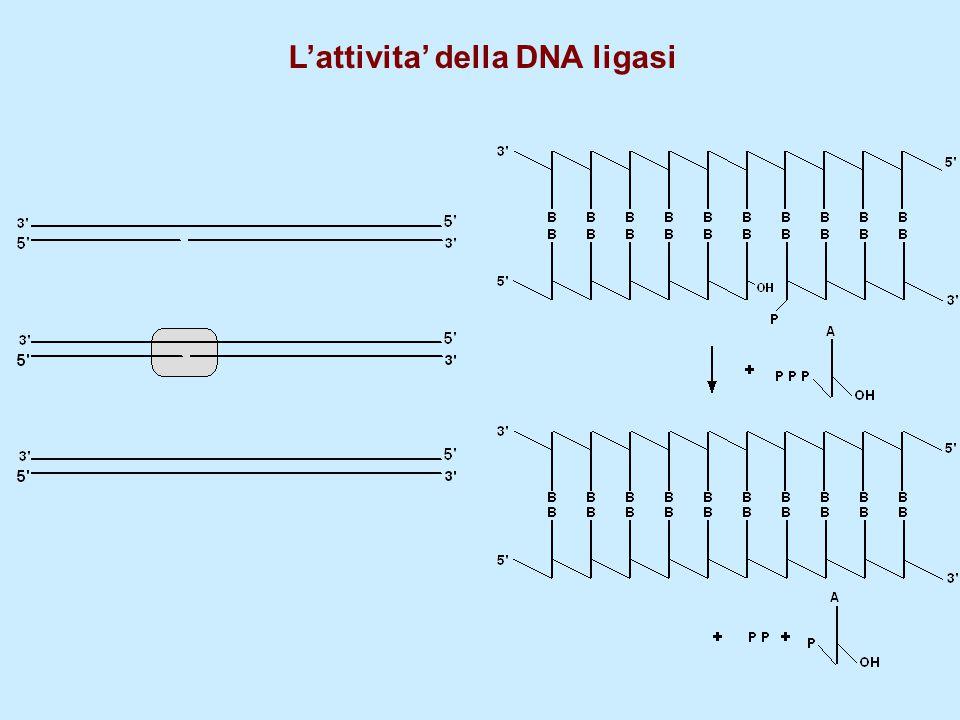 L'attivita' della DNA ligasi