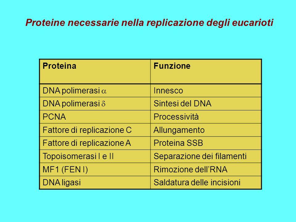 ProteinaFunzione DNA polimerasi  Innesco DNA polimerasi  Sintesi del DNA PCNAProcessività Fattore di replicazione CAllungamento Fattore di replicazi