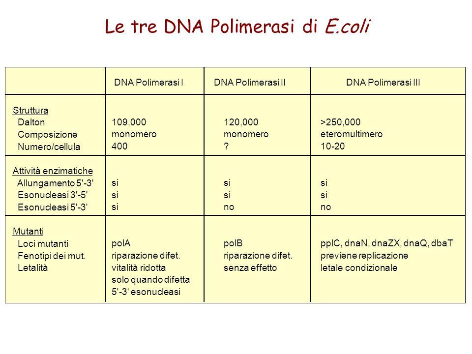 Le tre DNA Polimerasi di E.coli Struttura Dalton Composizione Numero/cellula Attività enzimatiche Allungamento 5'-3' Esonucleasi 3'-5' Esonucleasi 5'-