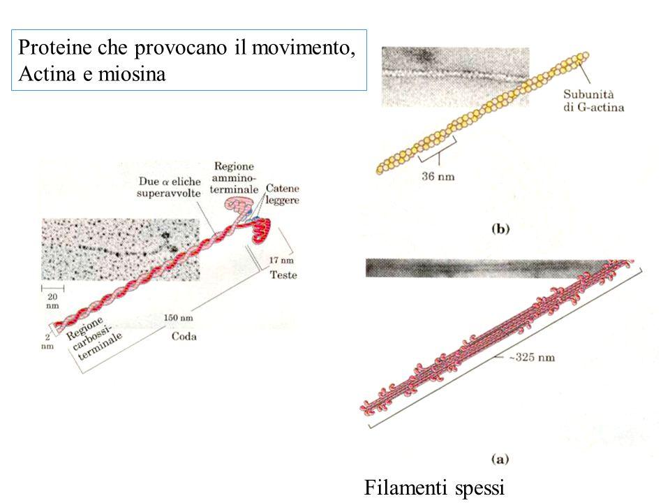 Proteine che provocano il movimento, Actina e miosina Filamenti spessi